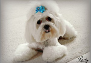Lady the Little Maltese on MyHumbleHomeandGarden.com